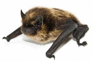 Brown-Bat.jpg