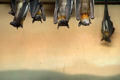 bats_hanging.jpg