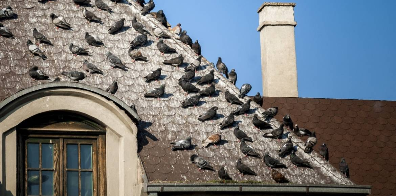 Pigeons-Roof-Infestation-1.jpg