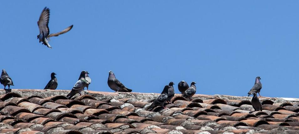 pigeons-rooftoptile-2.jpg